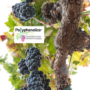 NutraIngredients article sets Polyphenolics' research apart from other studies on polyphenols